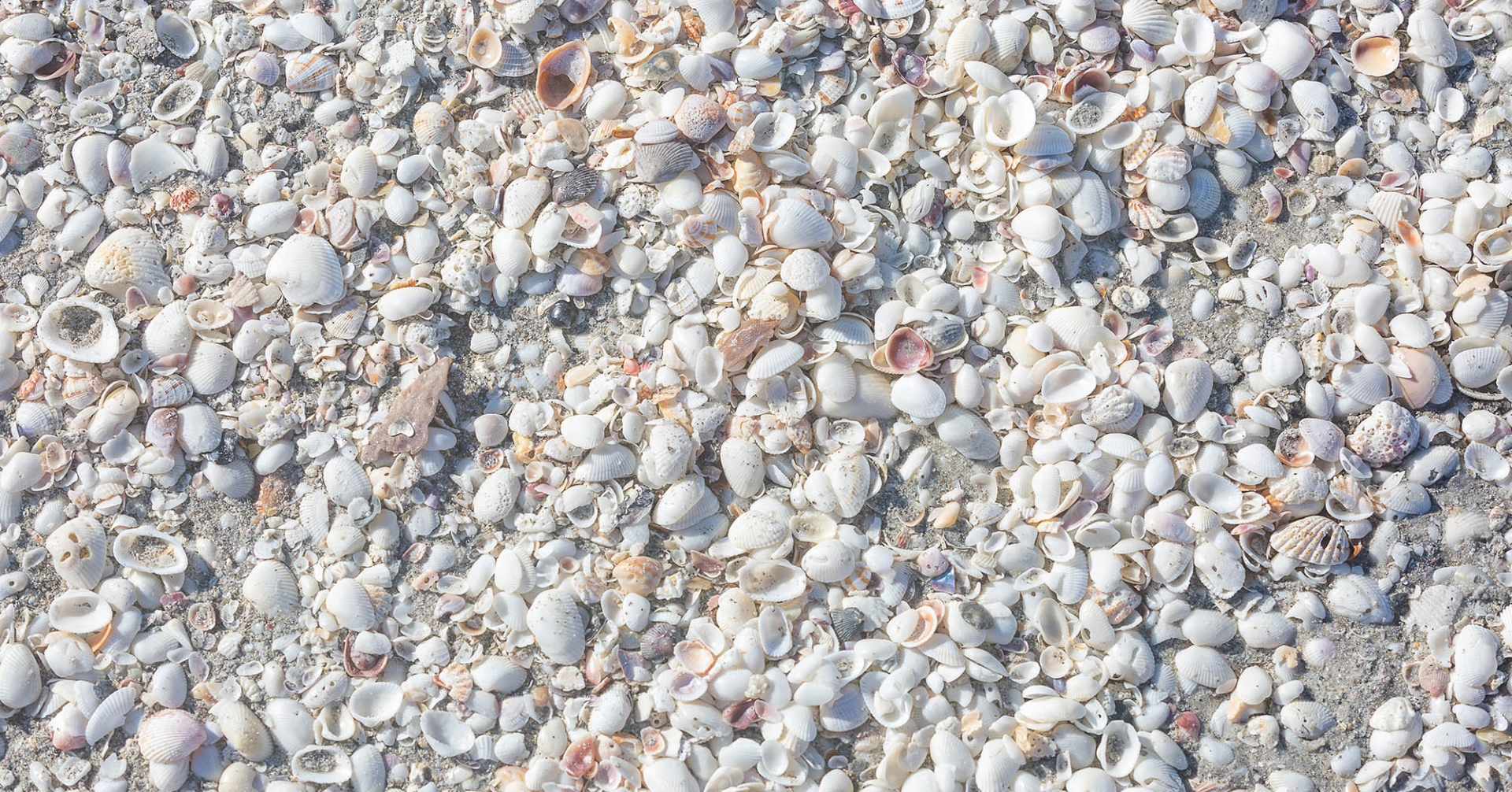 Shells of the beaches of Sanibel Island